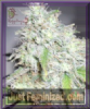 Dr Krippling Kali's White Shadow Female 10 Seeds